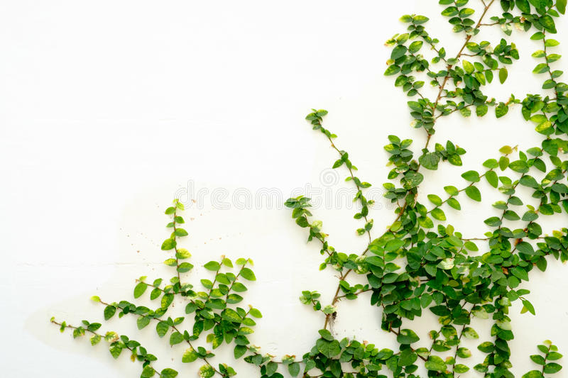 White wall with ivy plant stock image
