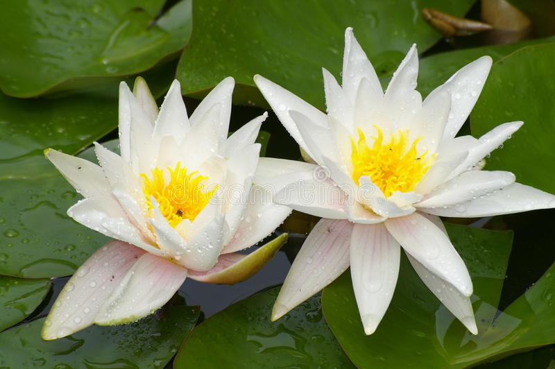 White water lilies. In pond, close-up stock photography