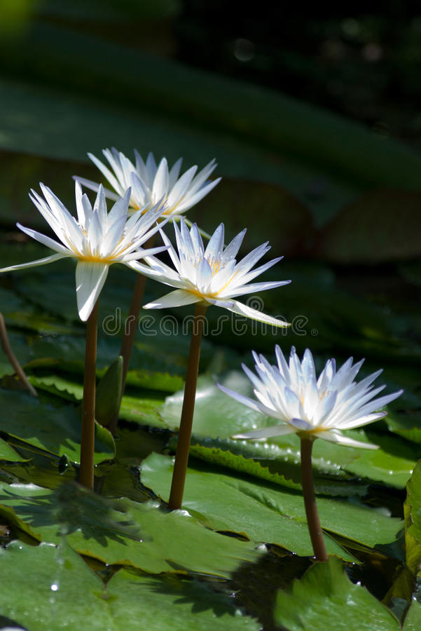 White water lilies. In a pond royalty free stock photos