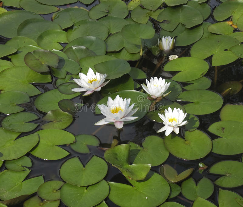 White water lilies. Few white water lilies with green leaves on water royalty free stock photo
