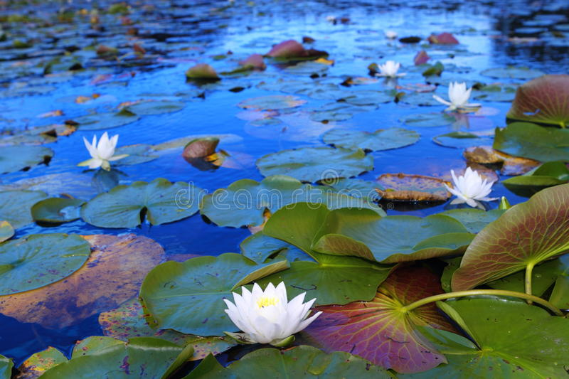 White water lilies. Floating in Minnesota lake royalty free stock photo