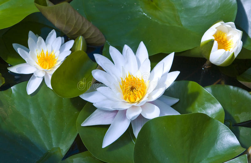 White water lilies. Three big white water lilies with leaves stock photo