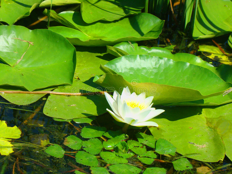 White water lilies. Very rare and beautiful flower. They grow in reservoirs and ponds and on lakes. These lilies grow in the Caspian reserve. They are brought stock photography