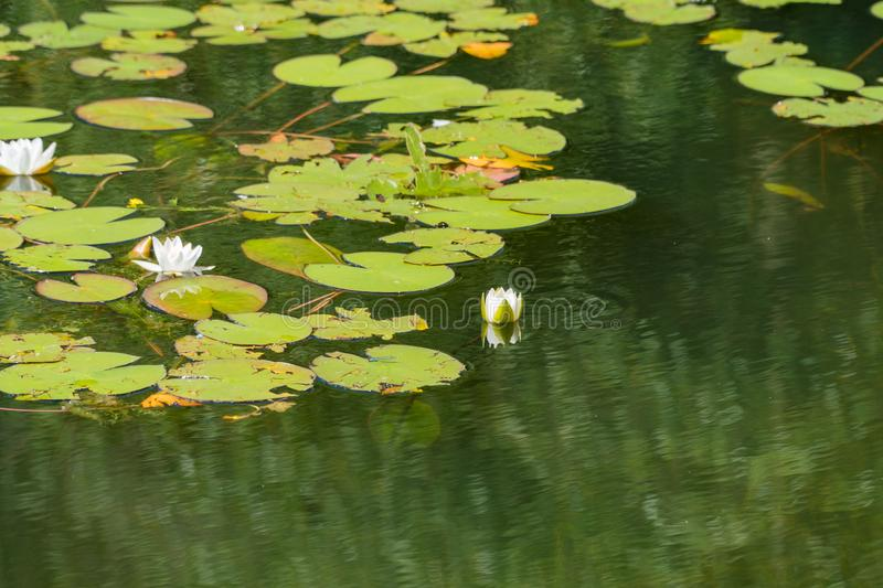 White water lilies bloom in the pond. White water lilies bloom in the pond stock photo