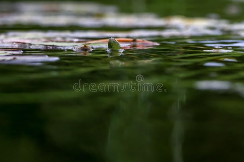 White water lilies in water. White water lilies bloom in the river. Water lily flower with green leaves in the water. White water lily bud in river, Latvia royalty free stock images