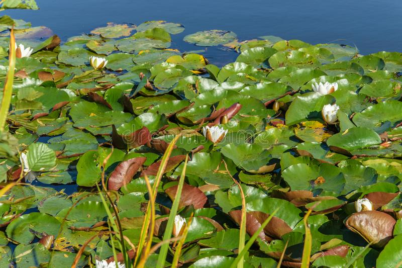 White water lilies blooming in a pond in autumn in September. White water lilies blooming in a pond in autumn stock photo
