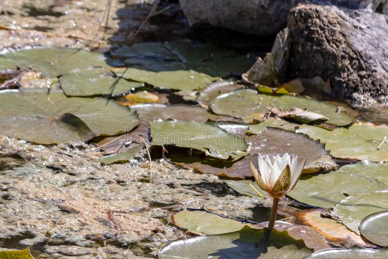 White water lilies blooming in the pond. These flowers can bloom in very adverse conditions, so they are a symbol in buddhism stock photos