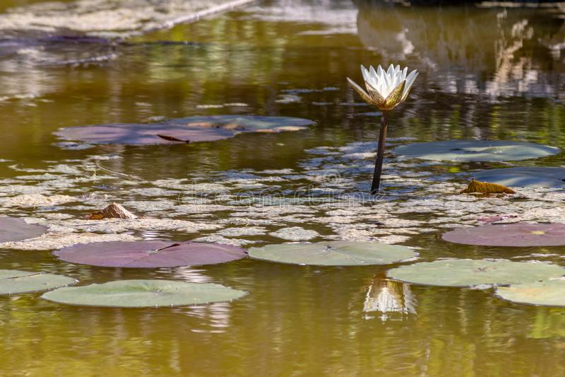 White water lilies blooming in the pond. These flowers can bloom in very adverse conditions, so they are a symbol in buddhism stock photo