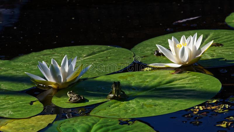 White water lilies. A close up of European white water lilies floating on the Danube River delta in Romania stock images
