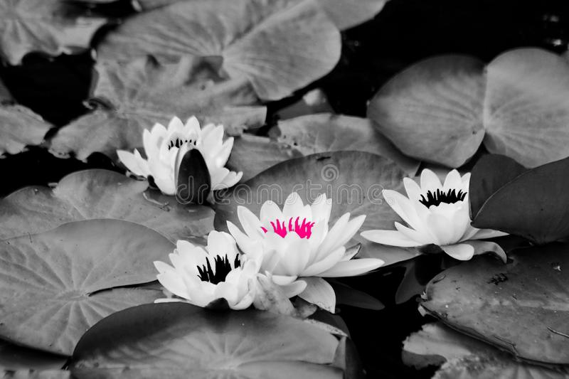 White Water Lilies with contrasting pink & black stems. Abstract Art: Image of White Water Lilies with contrasting pink and black stamen colors stock images