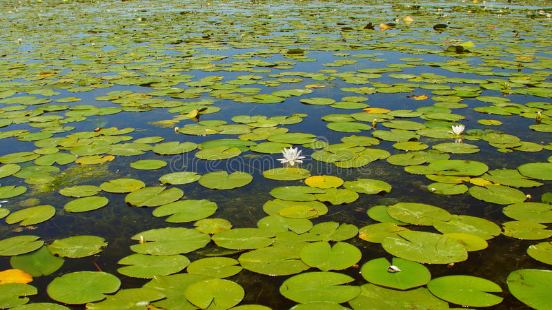 White water lilies in the Danube Delta.  stock image