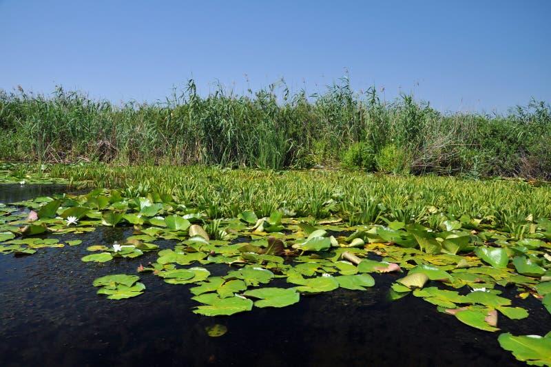 White water lilies in the Danube delta. Romania stock image