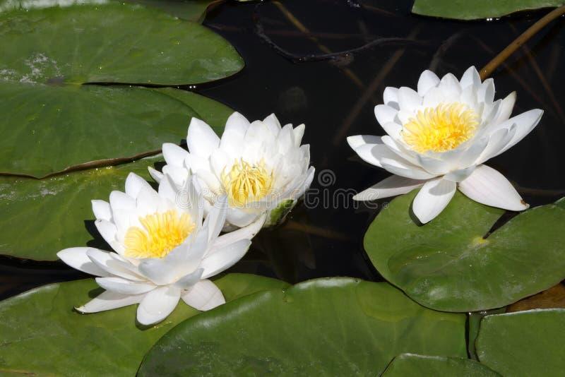 White water lilies in dark water. White water lilies in dark water on a sunny day royalty free stock image