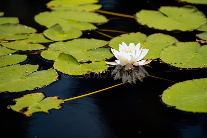 White water lilies on the dark water. White water lillies on the dark pond in the Cairngorms National Park, Scotland. The photo resembles the famous paintings of royalty free stock photos