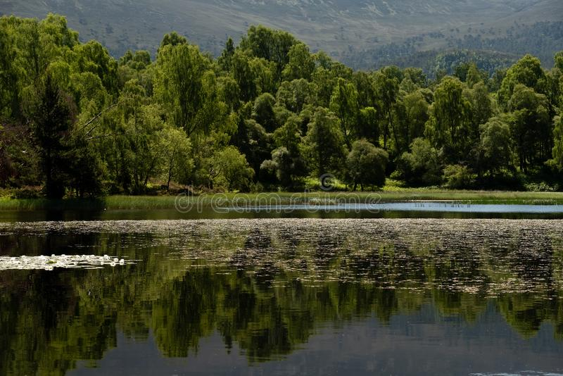 White water lilies on the dark water. White water lillies on the dark pond in the Cairngorms National Park, Scotland. The photo resembles the famous paintings of royalty free stock images