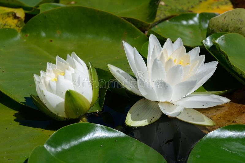 White water lilies down at the pond. Detail of white water lilies growing on green leaves at a pond stock images