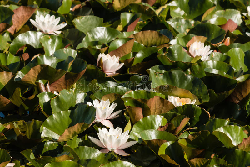 White water lilies. Floating on lake stock photo