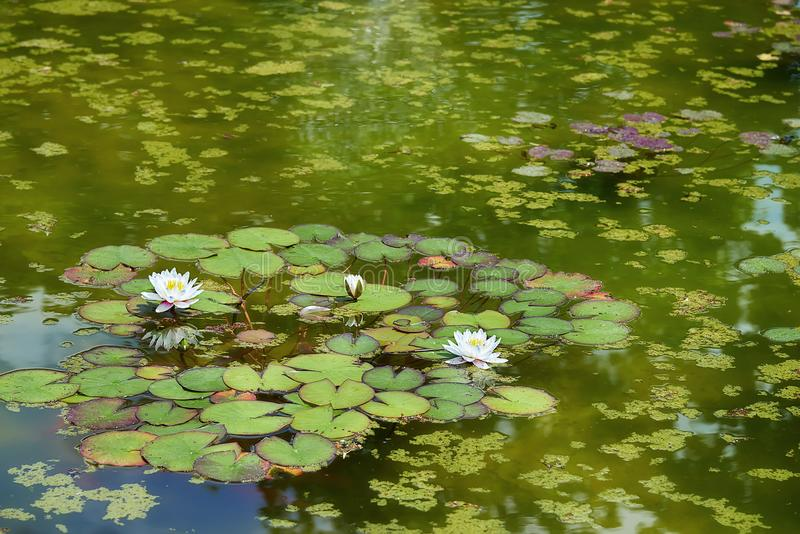 White water lilies floating on a rippled water close up. White water lilies floating on a rippled water close up royalty free stock photo