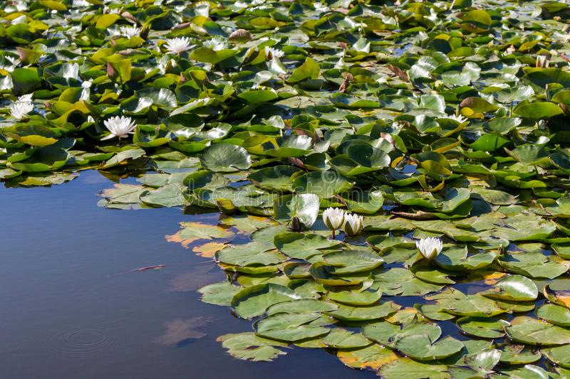 White water lilies with green leaves in forest lake. NAture and purity concept. Summer forest and pond. White water lilies with green leaves in forest lake royalty free stock images