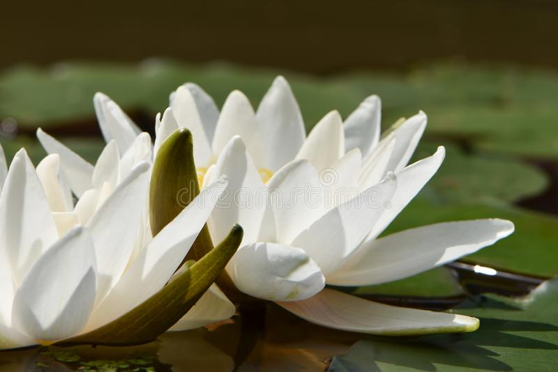 White water lilies with green petals. On the round large leaves on a flat surface of the pond close-up stock photos