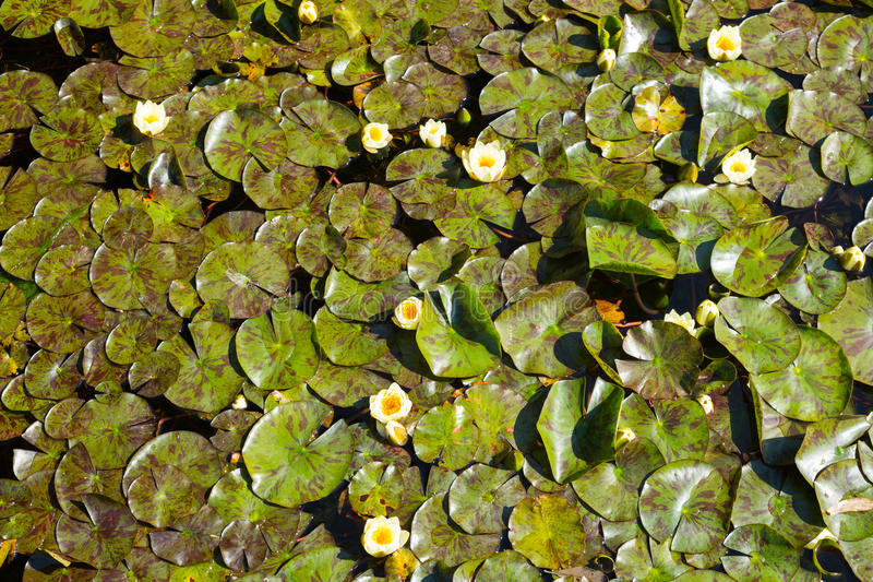 White water lilies. Growing in quiet waters of pond royalty free stock photo