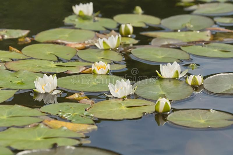 White water lilies on the lake among. The green leaves stock photos