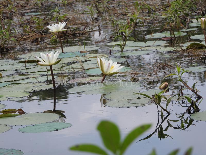 White water lilies, lake with green leaves.  royalty free stock image