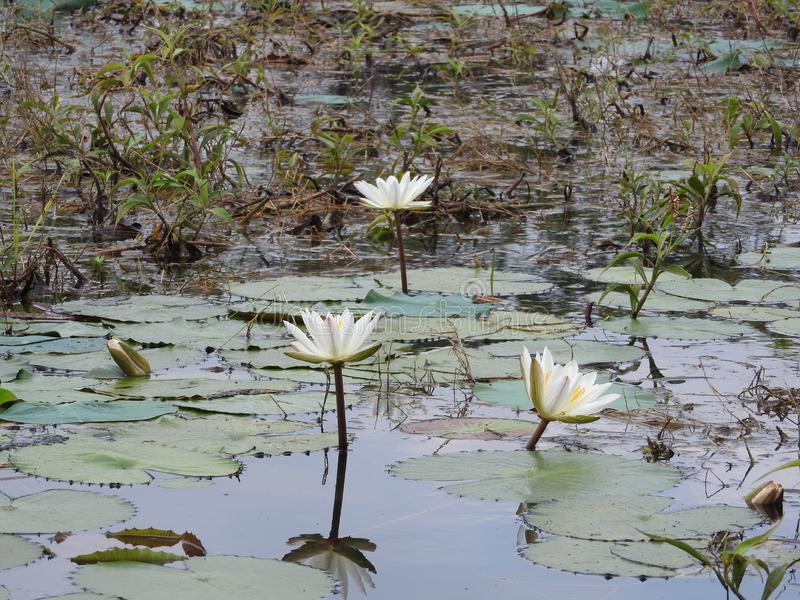 White water lilies, lake with green leaves.  stock image