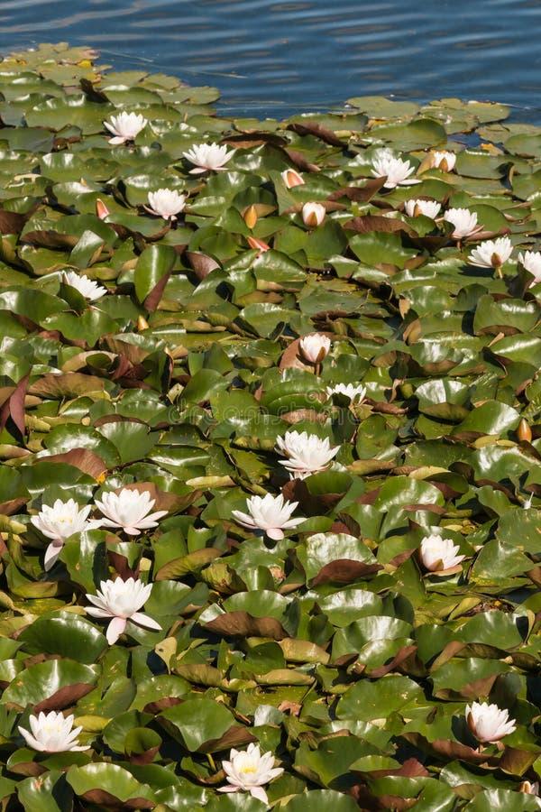 White water lilies on lake. White water lilies growing on lake stock photos