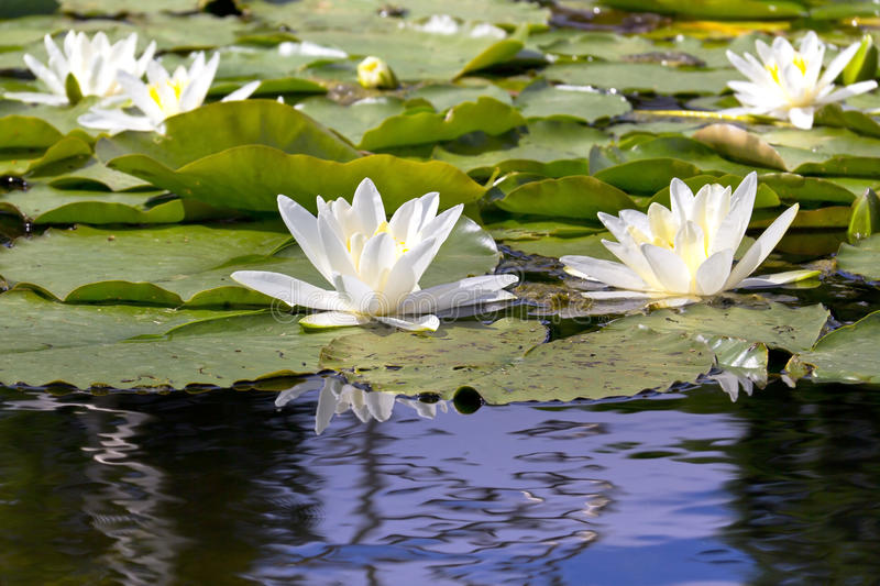 White Water Lilies on a lake. In a park stock image
