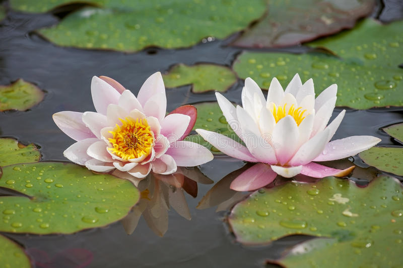 White water lilies. With leaves on a pond stock photos