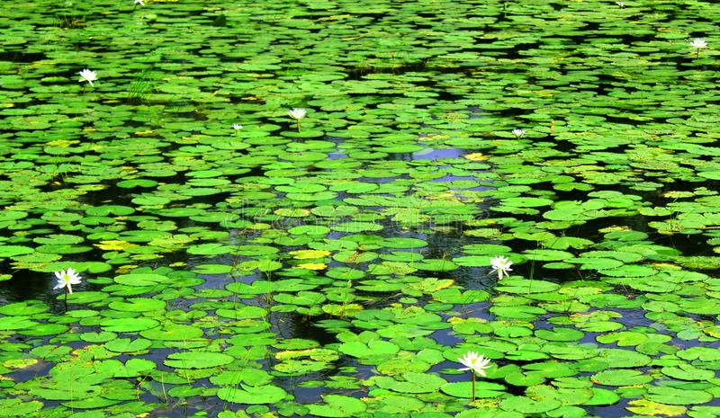 White water lilies with leaves. Green environmental concept natural landscape royalty free stock image