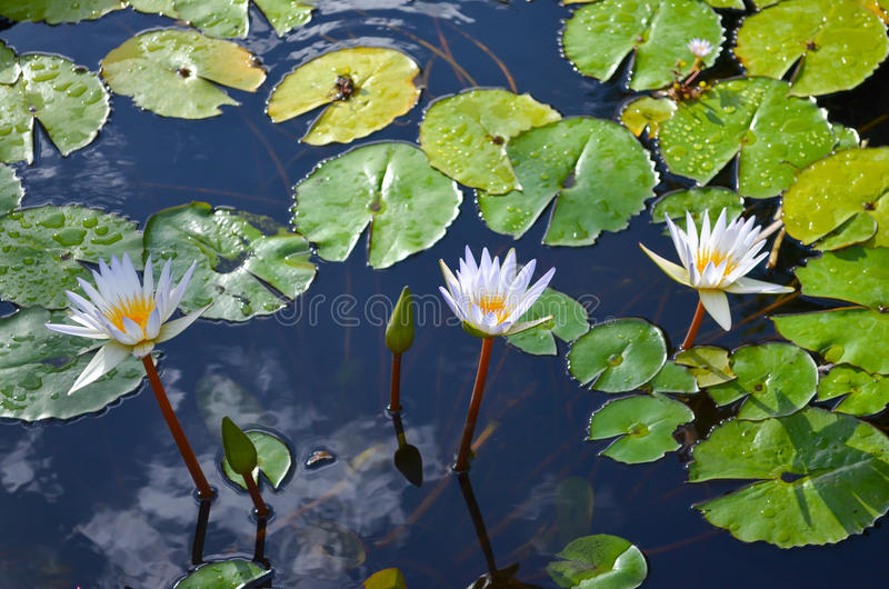 White water-lilies. White water lily flowers sprouting from a pond in the sun stock photo