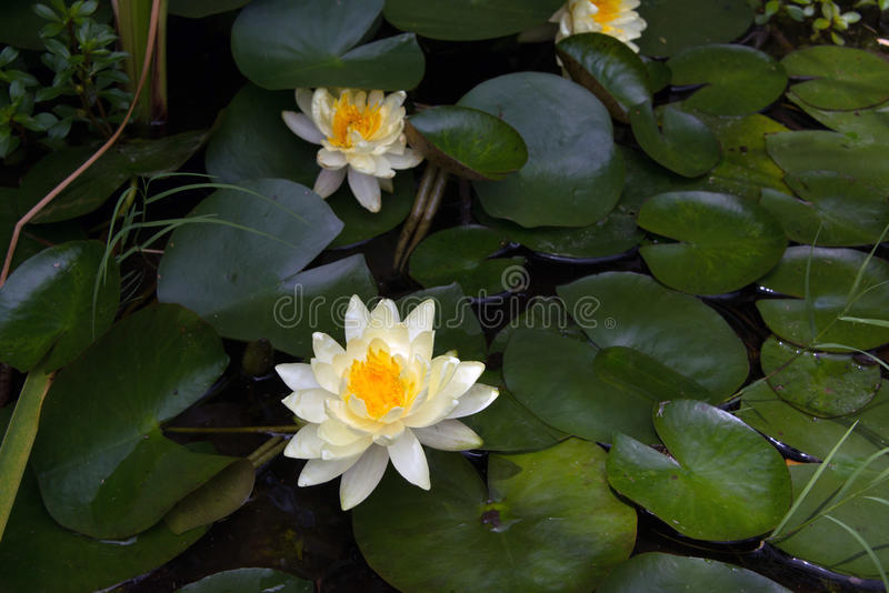 White water lilies and lily pads in pond. White water lilies and lily pads floating in pond royalty free stock images