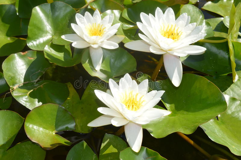 White water lilies. White water lily pond with many lily pads enjoying a hot summer day royalty free stock photo