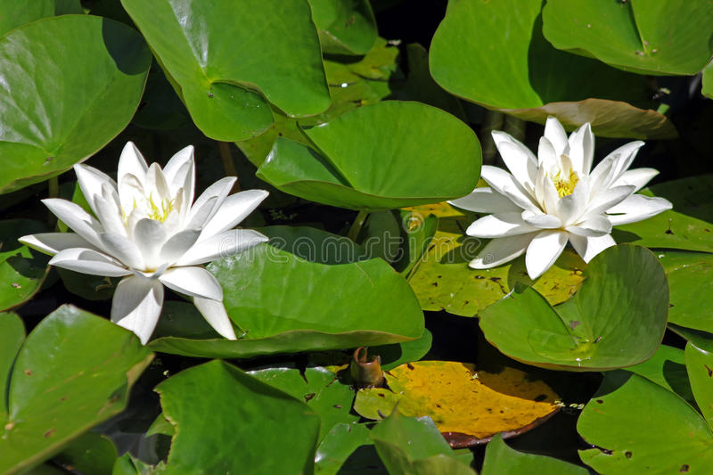 White Water Lilies in a London waterway. The white water-lily produces Britain`s largest flower. This plant roots in the mud at the bottom of the lake; the stock image
