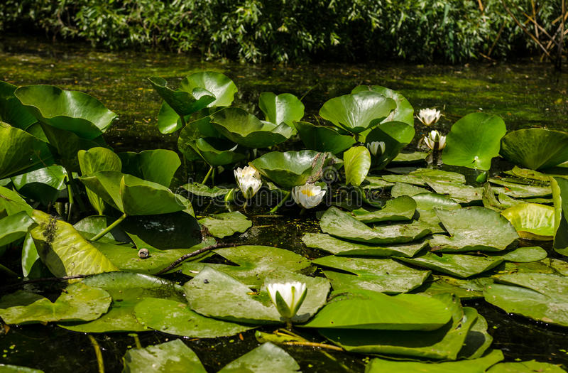White water lilies. (Nymphaea sp) plants in the Danube Delta stock photography