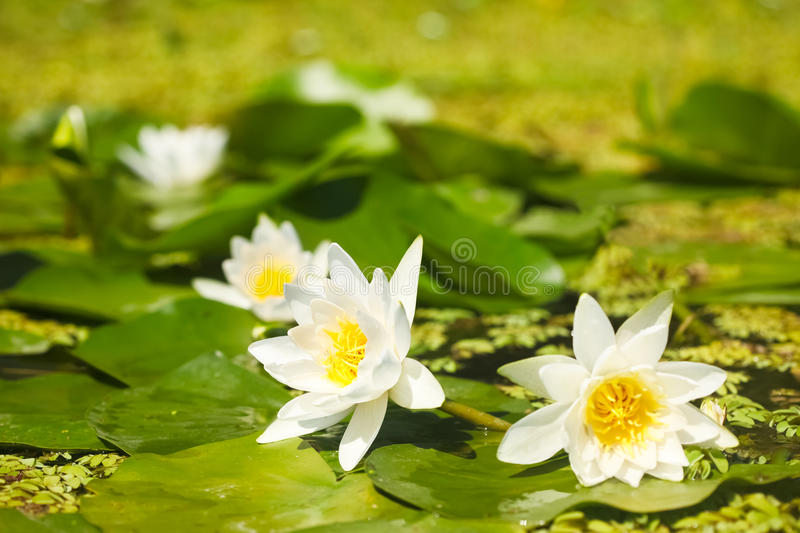 White water lilies. In a pond royalty free stock photo