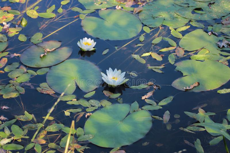 White water lilies on the pond. Aquatic plant. Beautiful white water lilies in the water among the leaves. stock images