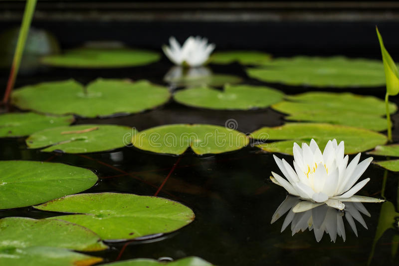 White water lilies on a pond. Two white water lilies reflecting on a pond with lily pads royalty free stock photo