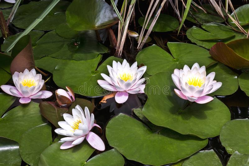 White water lilies in the pond. Sunny day royalty free stock images
