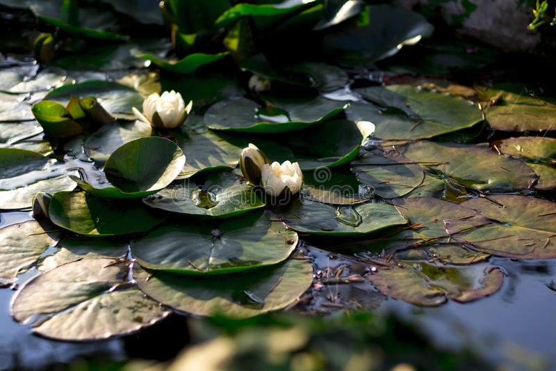 White water lilies. In the rays of sunset stock image
