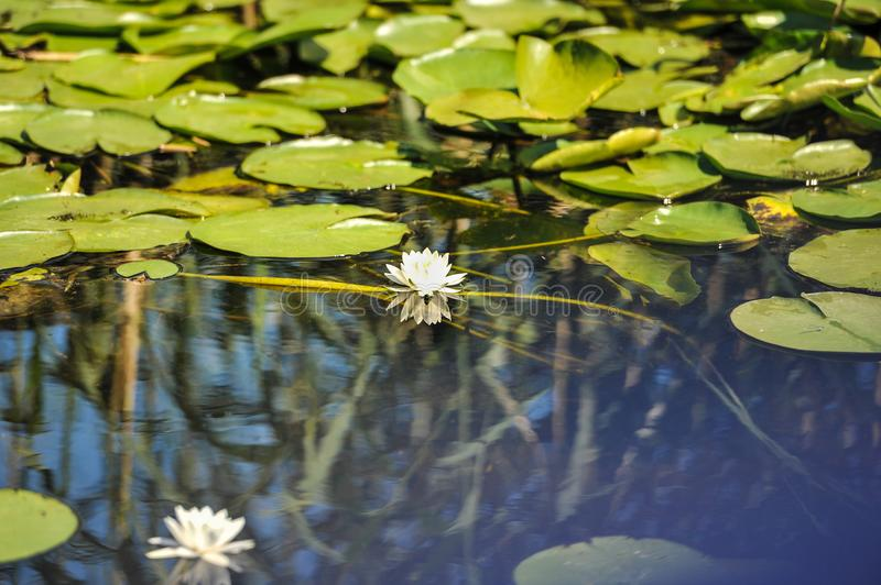 White water lilies in the Romanian Danube Delta.beautiful European white water lilly in Danube Delta, Romania stock photography