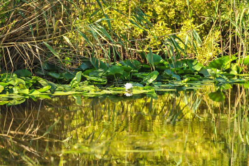 White water lilies in the Romanian Danube Delta.beautiful European white water lilly in Danube Delta, Romania. Nymphaea alba royalty free stock photography