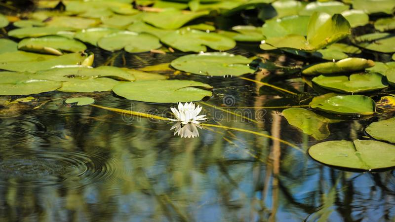 White water lilies in the Romanian Danube Delta.beautiful European white water lilly in Danube Delta, Romania. Nymphaea alba stock images