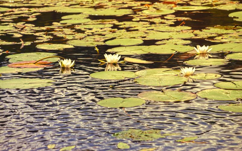White water lilies at sunset. White blossoming water lilies on the surface of the lake. Sunset stock photos