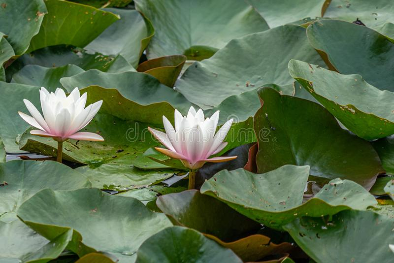 White water lilies swimming on a pond. Two white water lilies swimming on a pond stock photo