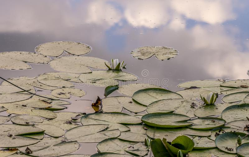 White water lilies on the water surface.  stock photos