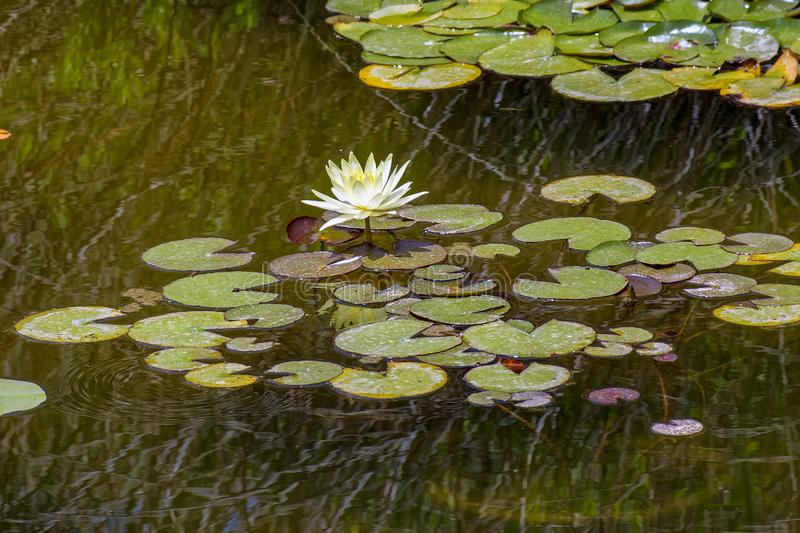 White water liliy or lotus flower in a garden pond. Beautiful white water lily or lotus flower blooming on the water in garden pond. Selective and soft focus royalty free stock photo