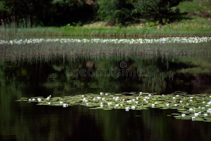 White water lilies on the dark water. White water lillies on the dark pond in the Cairngorms National Park, Scotland. The photo resembles the famous paintings of royalty free stock image